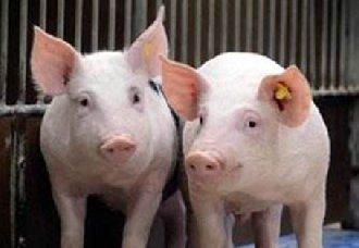 <b>秋季养猪场中要怎么预防猪病的发生?有哪些防控措施?</b>