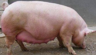 <b>在养猪过程中,造成母猪便秘的原因有哪些?</b>