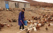 土鸡养殖要怎么管理才好?养殖土鸡有什么优点吗?