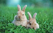 <b>兔子得了兔瘟有什么症状?要如何防治兔瘟?</b>