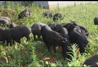 <b>广西长老乡:放养式黑猪助农民脱贫致富</b>