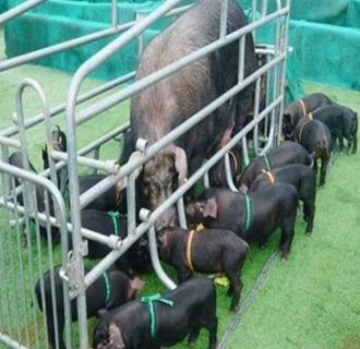 """湘西永顺芙蓉镇:举行湘西黑猪产业扶贫""""芙蓉黑""""认购仪式"""