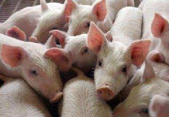 <b>保育仔猪要怎么饲养?保育仔猪的饲养管理介绍</b>