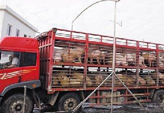 仔猪要进行长途运输需要注意什么?要做哪些准备工作?