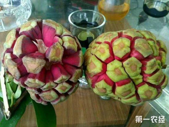神奇的水果-福布娜,特色种植的首选!
