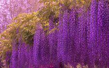 怎样种植紫藤花?紫藤花的种植方法