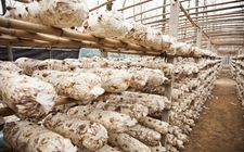 秋季香菇的管理方法有哪些?
