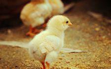 <b>肉鸡在育雏期需要做些什么?秋季饲养管理该怎么做?</b>