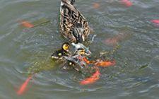 导致鸭子腹泻的原因有哪些?我们怎么防治?