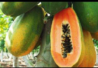 木瓜要怎么种?木瓜的种植管理技术