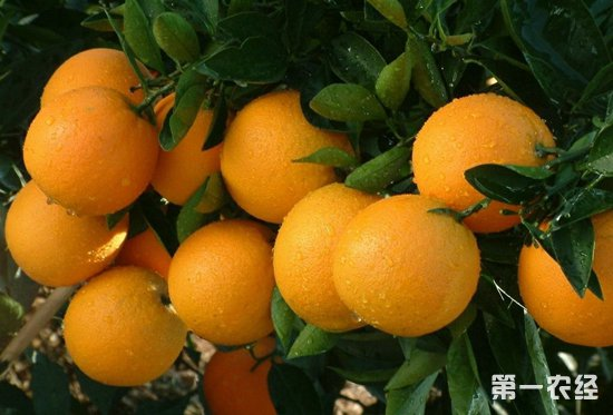"""舒兴华:助力家乡冰糖橙产业,冰糖橙变""""金果"""""""