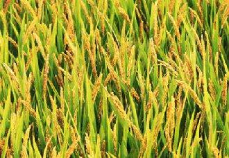 <b>我国节水抗旱稻有了更优的新稻种</b>