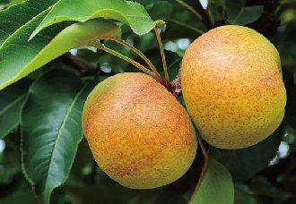 吉林延边特产--苹果梨