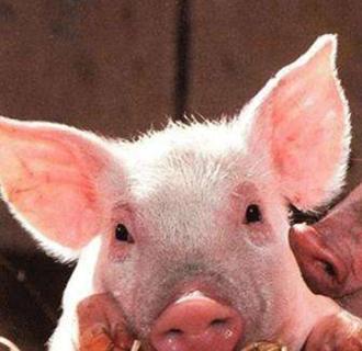 云南昭通:发生非洲猪瘟疫情