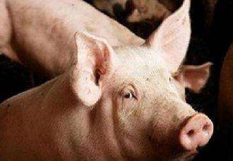 云南启动非洲猪瘟Ⅱ级应急响应措施 预计扑杀6918头生猪