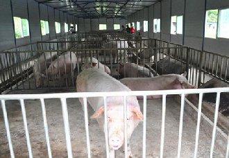 给猪圈进行消毒要注意哪些问题?以下4点需注意