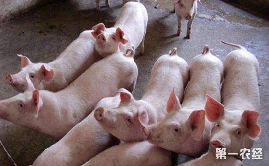可爱的猪吃东西图片