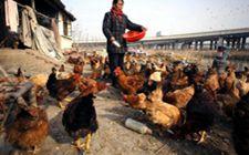 蛋鸡秋冬季要怎么进行管理?蛋鸡优管促产措施分享