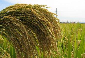 """""""水稻+""""帮助农民真正实现增产增收"""