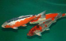 <b>鲤鱼出血症有什么症状?要如何防治?</b>