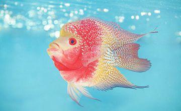 罗汉鱼常见疾病有哪些?如何防治?