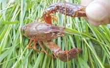 小龙虾要怎么养殖?小龙虾稻田养殖技术分享