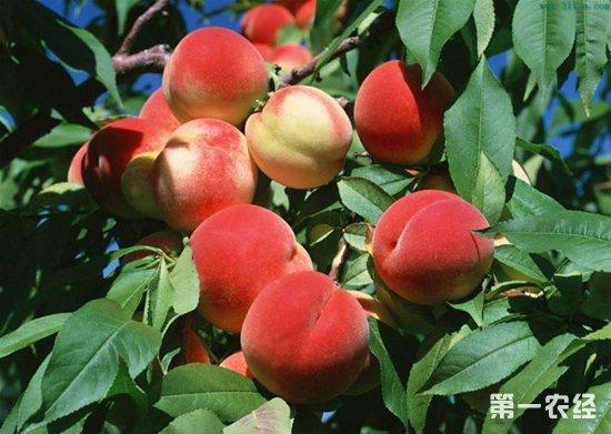 桃树缺铜症要怎么治?桃树缺铜症的防治措施