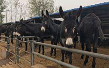 肉驴常见疾病有哪些?我们要怎么防治?