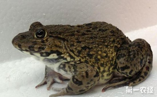 野生虎纹蛙养殖技术_虎纹蛙养殖技术方法_扁蟹池塘养殖技术