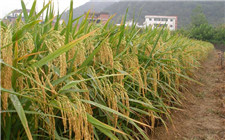 上海水稻育种研究新成果:节水抗旱稻再做突破