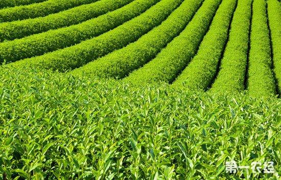 春季的时候茶园应该施哪些肥?