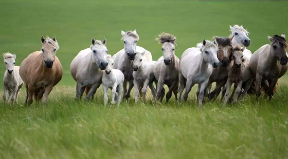 内蒙古:马匹存栏量占据全国第一 目前达84.8万匹