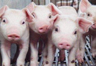 <b>我国猪肉主销区价格均上涨 部分猪价突破18元/斤</b>