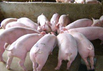葡京网址部全面禁止喂养泔水猪降低疫情传播发展,对养猪户有无影响?
