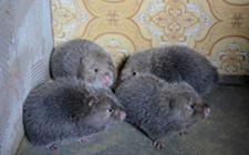 竹鼠寄生虫病有哪些?要怎么做好预防措施?