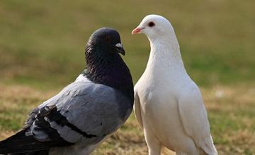 鸽子发生鸽瘟具体有什么症状?要如何防治?