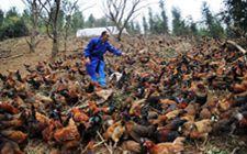养殖笼养肉鸡时,饲养管理有什么要点吗?