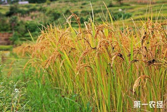 云南红河:梯田种里红米,农民钱袋子越来越鼓