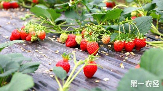 """新疆和静:温室草莓成了农民们的""""致富果"""""""
