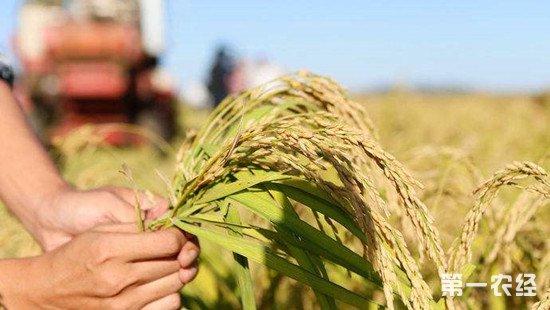 超级杂交水稻产量再创新高 亩产达1203.36公斤