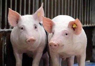 <b>西南地区猪源缺口大 猪价仍持续上涨</b>