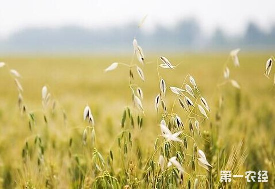 燕麦要怎么种?燕麦的种植技术