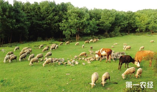 甘肃玉门市畜牧业快速发展 畜禽养殖规模逐年增加