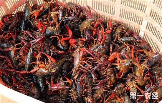小龙虾冬季养殖的注意事项