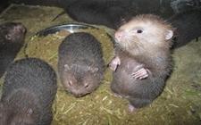 <b>竹鼠的常见疾病有哪些?竹鼠常见疾病及其防治</b>