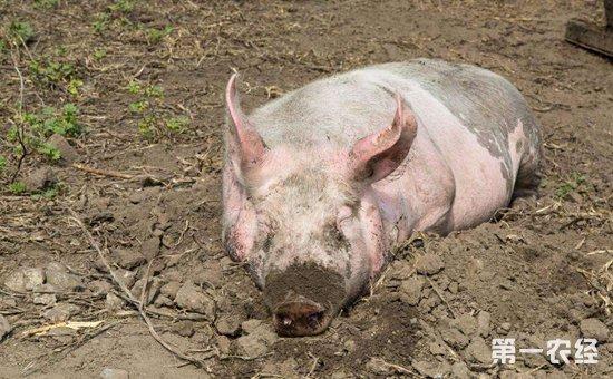 近期有朋友向我反映说,自家养的母猪都不发情,这到底是怎么一回事呢?其实在养猪的过程中,难免会遇到母猪不发情的情况,这给养猪生产带来的很大的损失,会间接影响养猪的经济效益。今天小编就和大家探讨一下关于母猪不发情的原因以及解决办法。