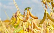 黑龙江选育新品种高产优质大豆