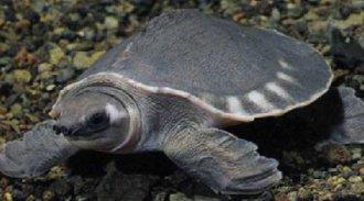 猪鼻龟一只多少钱?