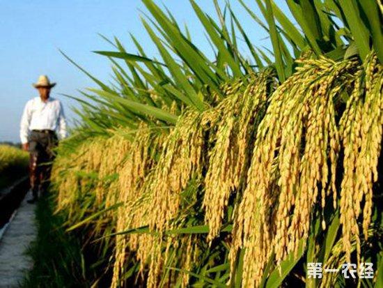 超级水稻亩产达1203.36公斤,刷新世界纪录