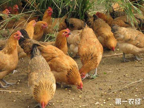 2018年11月2日养鸡市场行情如何?今日养鸡行情概述